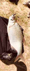 Common Bream — Romain Grasa