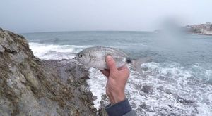 Saddled Seabream — Tom BaitBandit