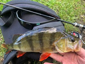 European Perch — Dam Red (Amazing Fishing)