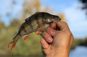 European Perch — Bruno Hedouin