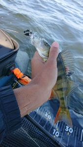 European Perch — Mosow fishing