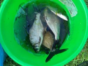 Common Bream — Eric Dumont