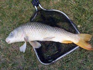 Common Carp — les pêcheur du 11 (youtube)