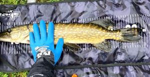 Northern Pike — Marie Mimi