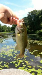 Largemouth Bass — Loann Fishing