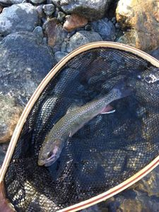 Brook Trout — Flo Mdg