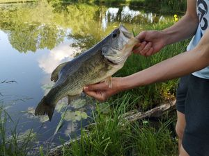 Largemouth Bass — Théo d