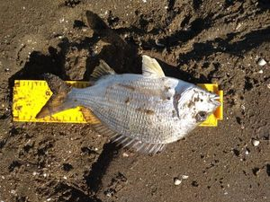 Yellowfin Seabream — Geoffrey Cenatiempo