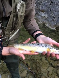 Brown Trout — Robin Yerly
