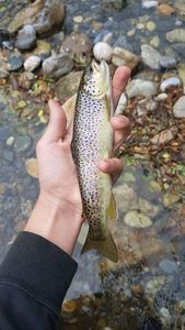 Common Trout — Evan Contacolli