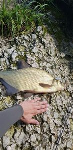 Common Bream — Kevin Rslt