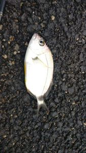 White Seabream — Ludovic Deligny