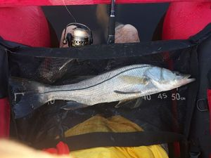 Snook (Brochet de Mer) — Jeff Viard
