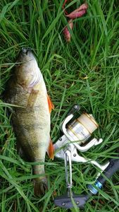 European Perch — Sylvain Magris