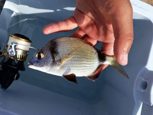Common Two-banded Seabream — Tommaso Porru