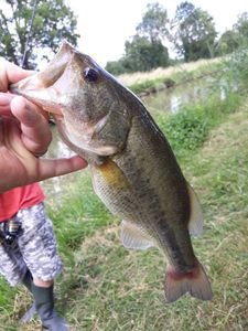 Largemouth Bass — Fabien Laville