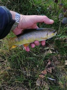 Brown Trout — Franck Daligaux