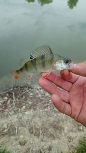 European Perch — Frank Bouland Kefran