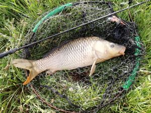 Common Carp — Uberto Massaro