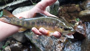 Brown Trout — Hugo Erouart