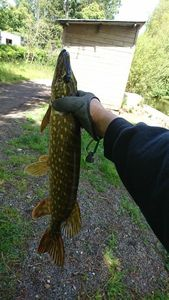 Northern Pike — sylvain doceul