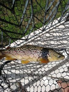 Brown Trout — Uberto Massaro