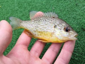 Green Sunfish — Léo Huart