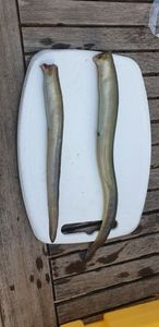 European Eel (Common Eel) — maxou lbs
