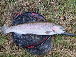 Rainbow Trout — Chris Str
