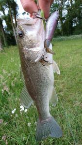 Largemouth Bass — Guillaume Caro