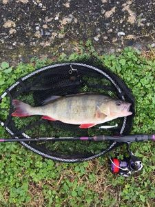 European Perch — Thisma fishing