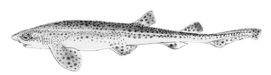 Lesser Spotted Dogfish (Small Spotted Catshark)