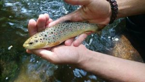 Brown Trout — Paul Rocher