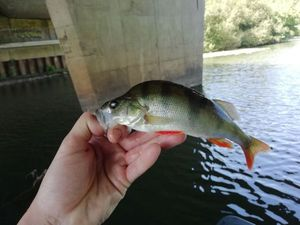European Perch — Davy Boschat