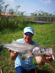 Atlantic Snook — Frederick Goyer
