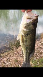 Largemouth Bass — Hugo Delahay