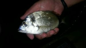 Common Two-banded Seabream — Scary Fishing