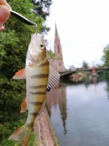 European Perch — Aubin Hansz-Mercier