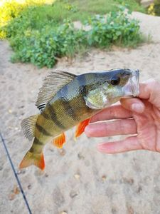 European Perch — Rod Fishing