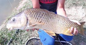 Common Carp — Kristian Gjondrekaj