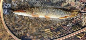 Northern Pike — Xavier Louge