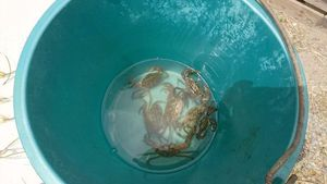Common Shore Crab (Green Crab) — Anthony Antho