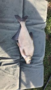 Common Bream — Dimitri Cazenave