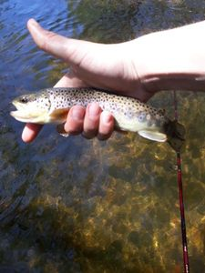 Brown Trout — Thomas Perrot