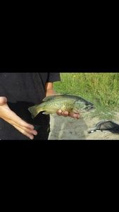 Largemouth Bass — Leo Sgns