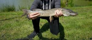 Northern Pike — Malvin Meyan