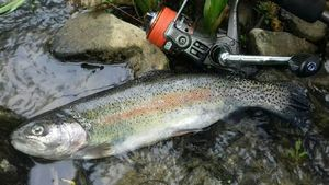 Rainbow Trout — Michael Riviere