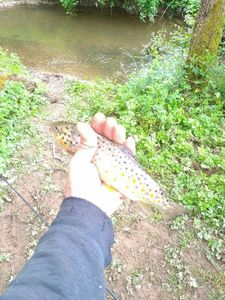 Brown Trout — Adrien Brostin