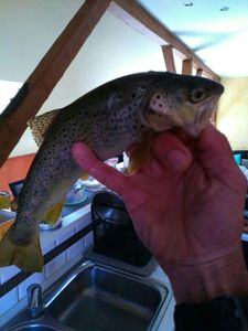 Brown Trout — Donat Rueff