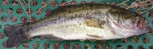 Largemouth Bass — Yohan Volonzac